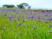 Kaas-Hochebene - Tal von Blumen im Maharashtra, Indien Stockfotografie
