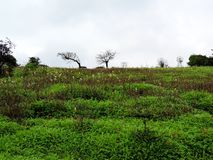Kaas platå - dal av blommor i maharashtraen, Indien Arkivfoton