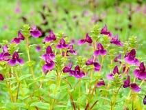 Kaas platå - dal av blommor i maharashtraen, Indien Royaltyfri Fotografi
