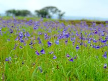 Kaas Plateau - Valley of flowers in Maharashtra, India. Kaas Plateau, located Maharashtra state of India is known for various types of wild flowers which bloom Stock Photography