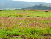 Kaasplateau - Vallei van bloemen in Maharashtra, India stock fotografie