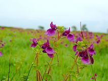 Kaasplateau - Vallei van bloemen in Maharashtra, India Stock Fotografie