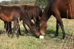 Kabardin horse with lick-log on pasturage Stock Photography