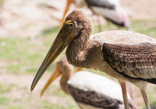 Kabbaw bird Portrait Stock Images