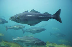 Kabeljaus im Aquarium Lizenzfreie Stockfotografie