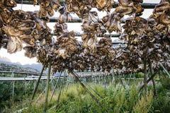 Kabeljauwstokvis het hangen op houten polen lofoten eiland Royalty-vrije Stock Fotografie