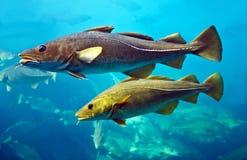 Kabeljauwvissen die in aquarium drijven Royalty-vrije Stock Foto's