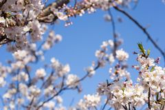 Cherry trees flowers. Kachidoki, Tokyo, Japan, 04/06/2019 , Cherry trees flowers on the riverside in front of Harumi triton square stock images