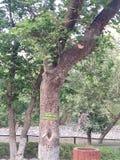 Kachnar, bauhinia variegata tree, india. Bauhinia variegata tree in a reserved forest, India. it is called as kachnar in India for its edible buds, native to royalty free stock images