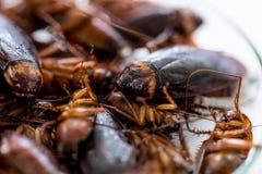 Kackerlacka för studien som finner parasit i laboratorium royaltyfria bilder
