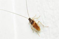Kackerlacka på den vita väggen royaltyfria bilder