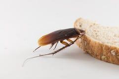 Kackerlacka som äter bröd Arkivfoton