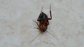 Kackerlacka under insekticid efter desinficering, krypcloseup, lager videofilmer