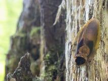KackerlackaBlaberus på trädet Royaltyfria Foton