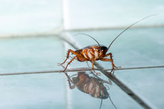 Kackerlackan kryper över tegelplattan Fotografering för Bildbyråer