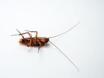 Kackerlackor bär sjukdomar som du måste avlägsna Arkivfoto