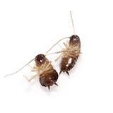 kackerlackor förbunde isolerad white Arkivbild