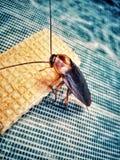 Kackerlackor i världen arkivfoto