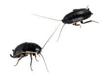 kackerlackor isolerade makroplågor Royaltyfria Foton