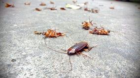 Kackerlackor ligger absolut Royaltyfria Foton