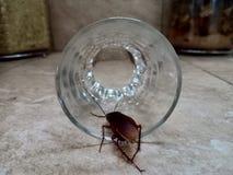 Kackerlackor och exponeringsglas arkivbilder