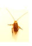 Kackerlackor som isoleras på vit bakgrund Royaltyfria Foton