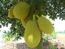 Kackfruit de heterophyllus d'Artocarpus photographie stock libre de droits