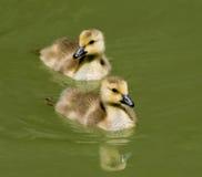 kaczątek pływać. fotografia royalty free
