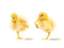 kaczątka śliczny kolor żółty dwa Obraz Stock
