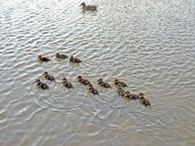 Kaczątka na jeziorze w naturalnym siedlisku zdjęcie stock