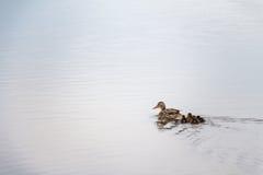 Kaczątka podąża matki w wodnym pojęciu Obrazy Royalty Free