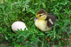 Kaczątko kaczka, piżmowa kaczka siedzi w trawie blisko eg. Zdjęcia Royalty Free