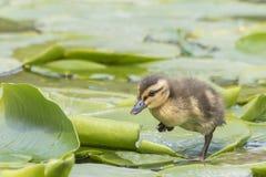 Kaczątko na leluja ochraniaczu Ornamentacyjny jezioro zdjęcia stock