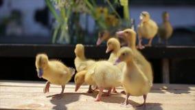 Kaczątko rodzina chodzi na pogodnej wioski zieleni zbiory wideo