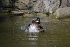 kaczątko Wiosny kąpanie Zdjęcie Stock