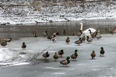 Kaczek łabędź ptaków jeziora zima marznący lód Fotografia Stock
