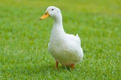kaczek, Zdjęcie Stock