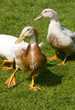 kaczek chodzić Zdjęcia Stock