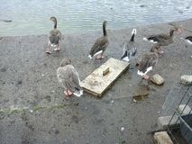 kaczek chodzić Obraz Stock