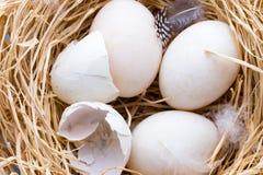 Kaczek jajek gniazdeczko, wiosny wielkanocy symbol Fotografia Stock