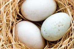 Kaczek jajek gniazdeczko, wiosny wielkanocy symbol Zdjęcia Stock
