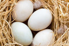 Kaczek jajek gniazdeczko, wiosny wielkanocy symbol Obrazy Stock