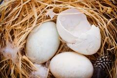 Kaczek jajek gniazdeczko, wiosny wielkanocy symbol Fotografia Royalty Free