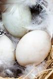 Kaczek jajek gniazdeczko, wiosny wielkanocy symbol Zdjęcie Stock