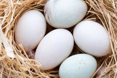 Kaczek jajek gniazdeczko, wiosny wielkanocy symbol Zdjęcie Royalty Free