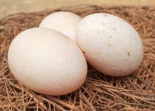 Kaczek jajka Obraz Stock