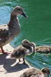 kaczek kaczątek mamusiu Zdjęcia Royalty Free
