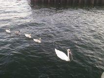 kaczek kaczki następuje przywódców linii prowadzi czerwony gumowego żółty Zdjęcia Royalty Free