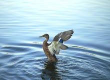 Kaczek limbers up skrzydła Obrazy Royalty Free