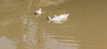 Kaczek pływać Obrazy Royalty Free